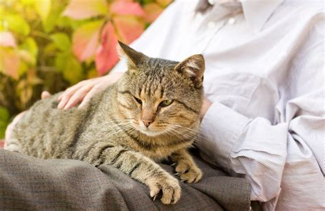 how to your to be a therapy therapy cats how to your feline to be one