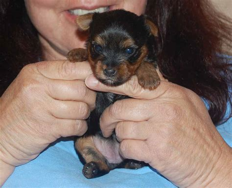 yorkie tips tips on raising a yorkie puppy breeds picture
