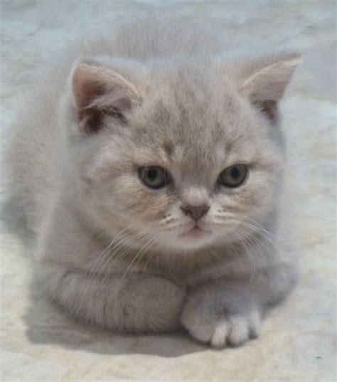 Chunky Lilac tabby Male Kitten   Redruth, Cornwall