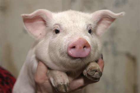 pig the pig 03 photo