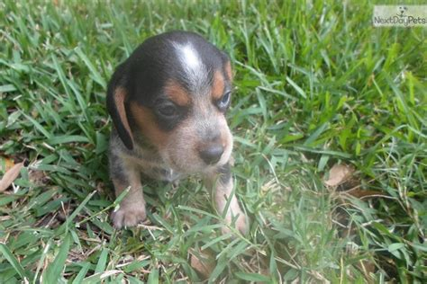 blue tick beagle puppies for sale near me beagle puppy for sale near jacksonville florida c2cc58a8 3ca1