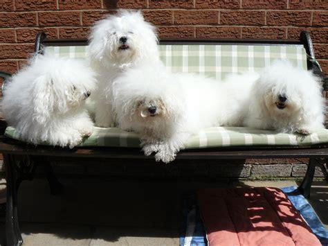 dog breeding bench 100 dog breeding bench whelping box google search