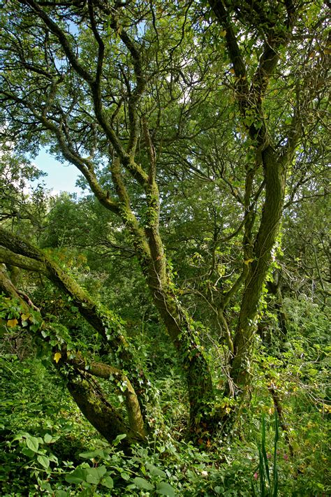 woodland tree madron well woodland trees and woodland photography by