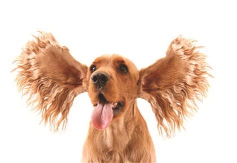 puppy scratching ears what causes crusty and stinky ears endless mt blends for pets