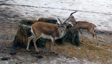Goitered gazelle - Wikipedia Iraq 2017