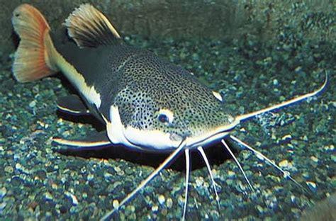 Pakan Ikan Lele Untuk Lomba cara cepat pembesaran lele ikan piranha
