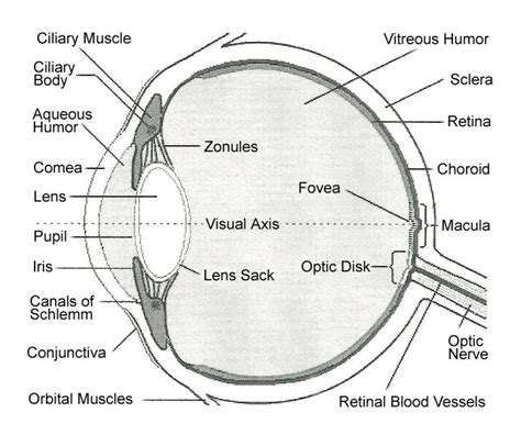 eyeball diagram labeled human eye labelling parts human eye diagram to label