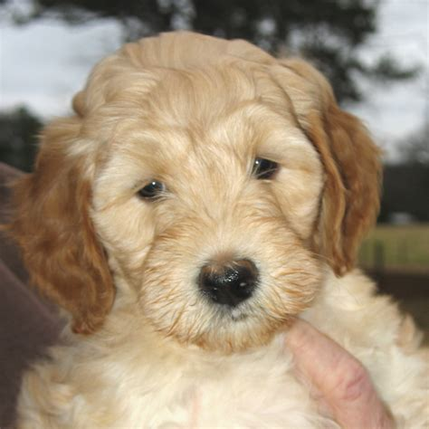 puppy strangles contagious southern charm labradoodles american and australian