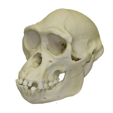 replica bonobo skull male  sale skulls unlimited