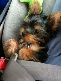 yorkie car seat puppies on 30 pins
