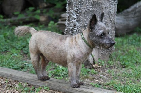 cairn terrier summer haircut carin terrier haircut hairstylegalleries com
