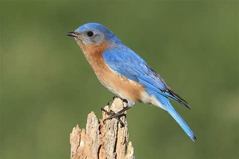 eastern bluebird song of america birdseed
