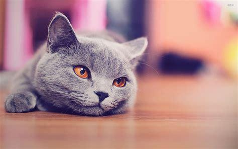 Blee Cat 2 shorthair wallpapers hd