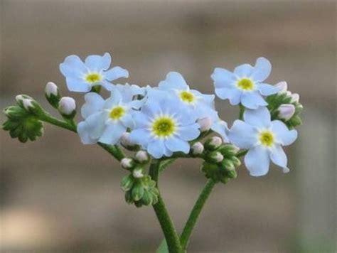 fiore nontiscordardime non ti scordar di me significato fiori
