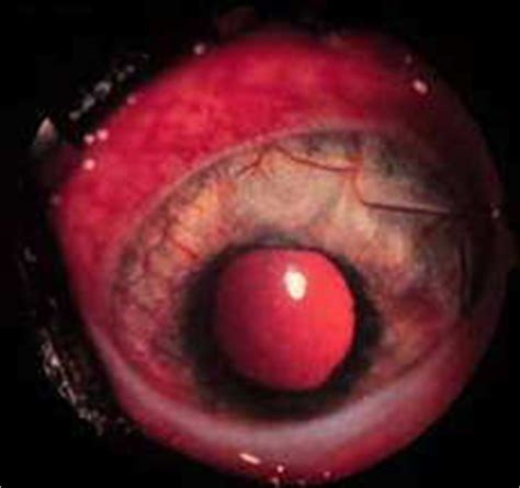 uveitis in dogs uveitis veterinary vision