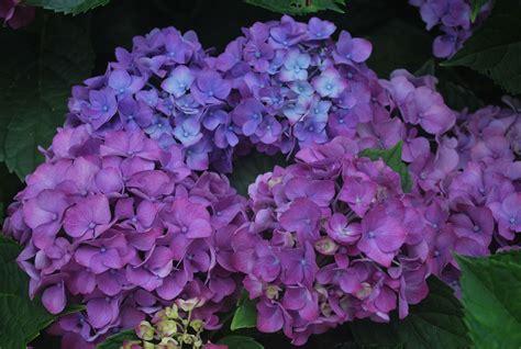 multi color hydrangea free stock photo domain
