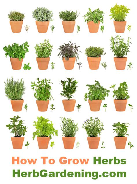 Growing Herbs | information about herbgardening com learn how to grow
