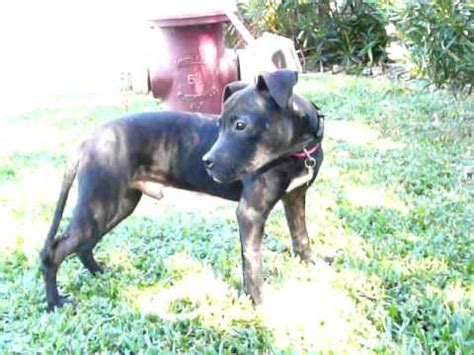 teacup pitbull puppies teacup pit bull adopted