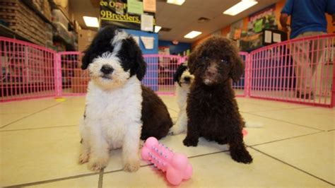 doodle puppies for sale in ga precious goldendoodle puppies for sale in at