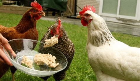 the essentials for keeping chickens your own