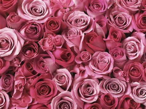 pink and red roses photo hd pink roses wallpaper full hd pictures