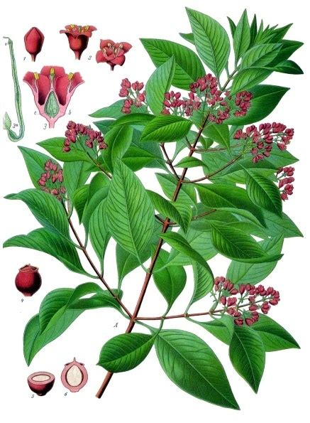 Medicinal And Cosmetic Value Of Sandalwood by Santalum Album