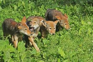 Red wolves in the wild are cooperative breeders sibling offspring