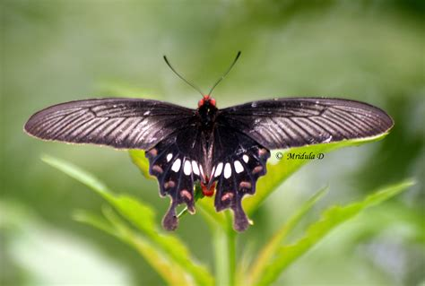black butterfly black butterflies travel tales from india and abroad
