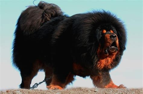 fluffy puppies breeds the tibetan mastiff 10 big fluffy breeds that are absolutely beautiful see more