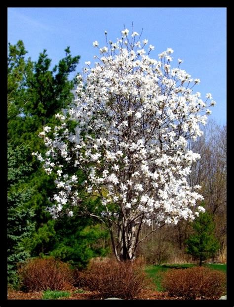 image detail for magnolia trees and the different