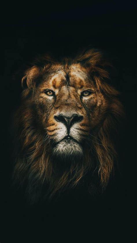king   jungle lion images lion pictures lion