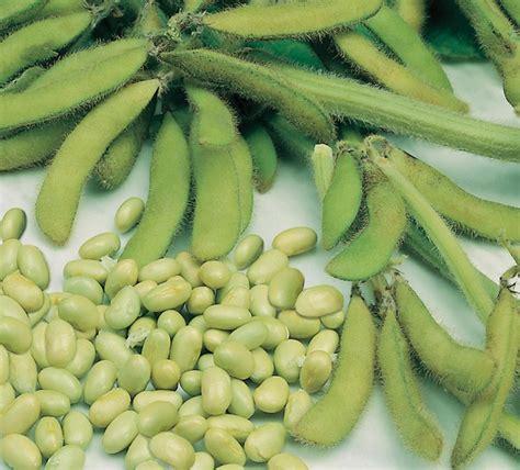 Bibit Kedelai Jepang benih kedelai