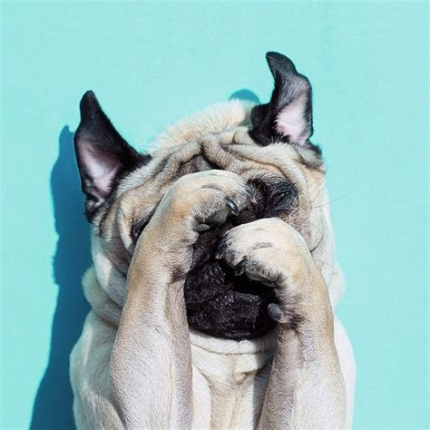 pug paint me like 17 best images about pug pictures on a pug puppys and pug