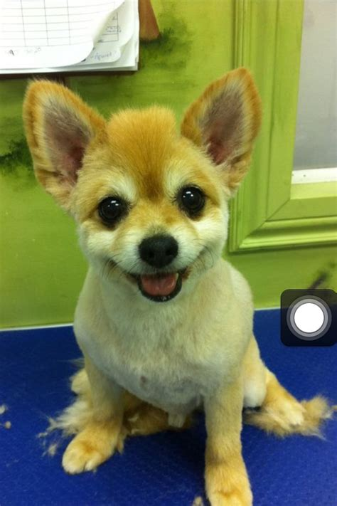 can i shave my pomeranian 17 best images about haircuts for chester on