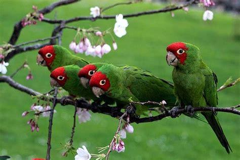 parrots san francisco localwiki