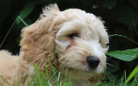 lifespan of cocker poodle cockapoo a guide to the cocker spaniel poodle mix breed