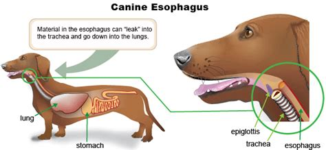 megaesophagus dogs monday what is megaesophagus and why is it dangerous