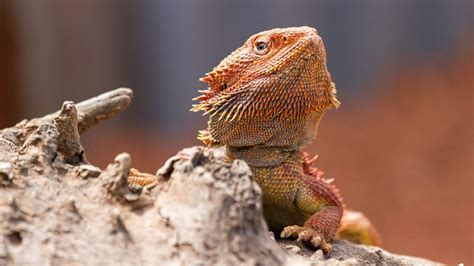 bearded dragon heat l how turning up the heat turns male bearded dragons into