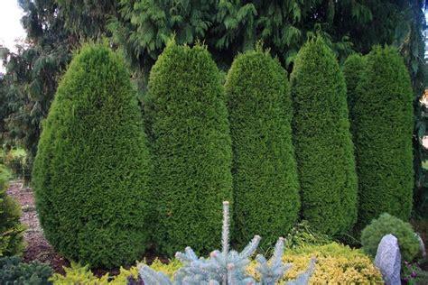 alberelli da giardino sempreverdi gli alberi da siepe siepi tipi di alberi da siepe