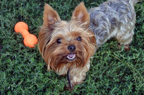 house a yorkie puppy how to a terrier