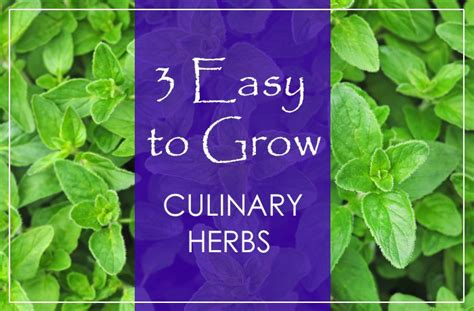 3 easy to grow culinary herbs living awareness institute