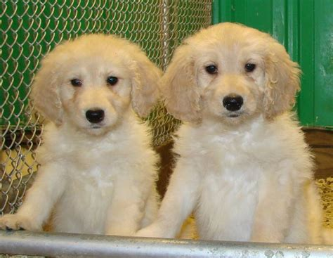 doodle puppies for sale in minnesota goldendoodle puppies for sale