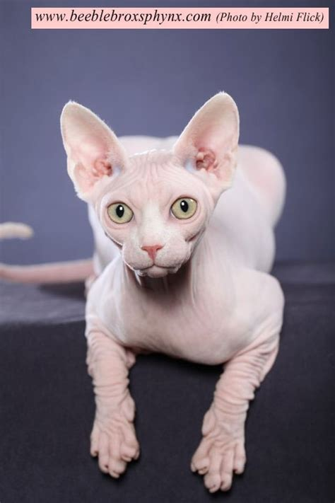Sphynx Cat Meme - 30 best images about sphynx kittens already adopted on