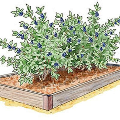 growing berries  asparagus  raised beds gardeners