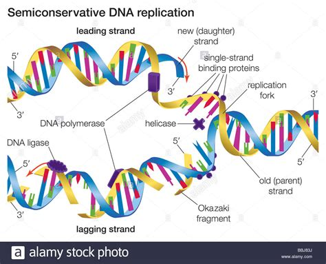 Beautiful What Acts As The Template In Dna Replication Elaboration Professional Resume What Acts As The Template In Dna Replication