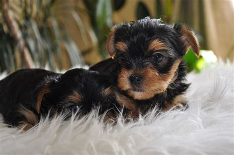 yorkie puppies miniature tinypuppy teacup yorkie breeder offers teacup terrier