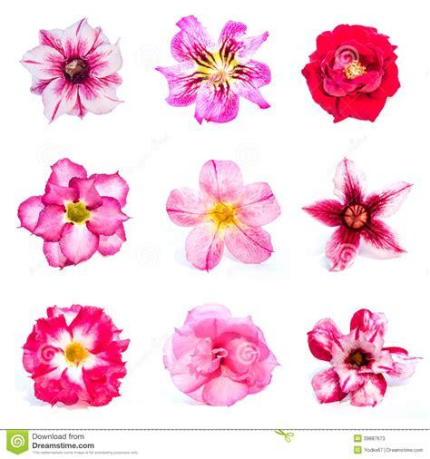 Azalea Set set of azalea flowers stock photo image 39887673