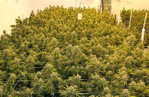 grow room light timers grow three pounds per light high times