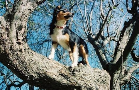 Doggie From Tree by 7 Answers My Climbs Trees Is That Normal Canine