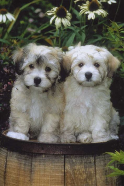 17 best ideas about havanese grooming on